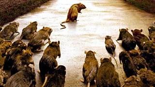 GGD waarschuwt voor ziekten bij wilde knaagdieren
