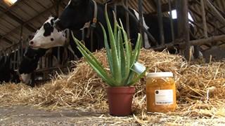 Proef Overijsselse veehouders met Indiase kruidenmengsels succesvol
