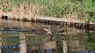 Ree in het water bij Blokzijl