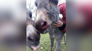 De aangevallen ezel Marloes