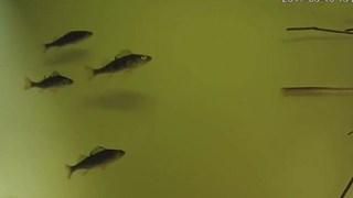 Ook kleinere vissen komen door de vispassage bij gemaal Stroink