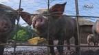 Varkens Piggy's Palace in watten gelegd