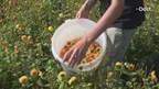 Corsobloemen Vollenhove matig en schaars door extreme weersomstandigheden deze zomer