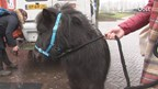 VIDEO: Pony op rode loper of paard in de gang?