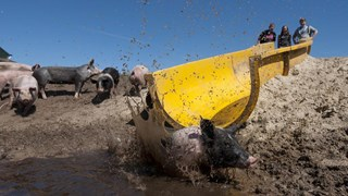 Wereldwijd reacties op varkensglijbaan in Bathmen