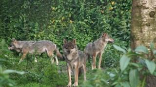 Europese wolven uit de Karpaten