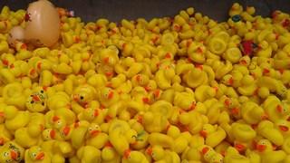 Vijfduizend badeenden klaar voor de race