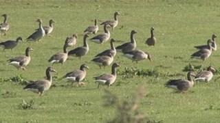 Ganzen vogelvrij verklaard in Overijssel