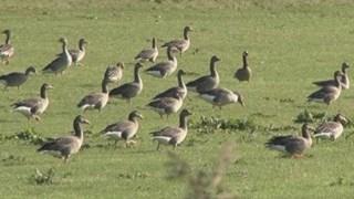 Een groep ganzen vreet een weiland kaal
