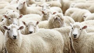 Schapen / schapenkudde