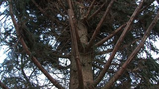 Kerstboom Brink Deventer; weinig groen aan onderkant..