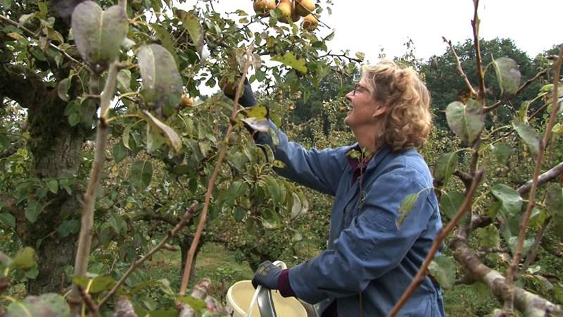 Vrijwilligers plukken tienduizend kilo peren uit boomgaard bij Olst