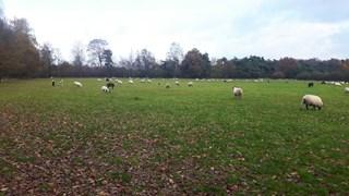 Aantal dode schapen De Borkeld loopt op