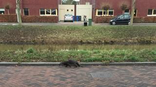 De otter in Zwolle