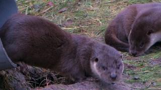 Twee otters uit de Kop van Overijssel