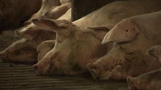 Varkens liggend in de stal.