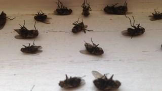 klustervliegen