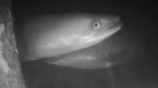 Aal passert een vistrap, gefilmd met onderwatercamera