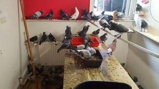 De meeste duiven werden opgevangen in een klein kamertje