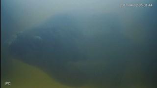 Vis passeert de camera bij de vistrap bij Vechterweerd