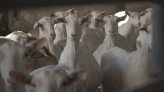 Geitenhouderij geiten