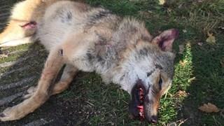 Wolf was op slag dood