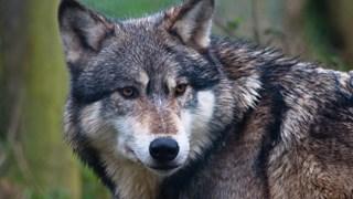 Loopt er een wolf in Luttenberg?