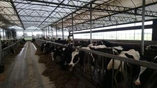 De koeien van boer Pieter Koonstra