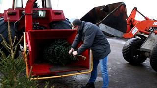 Kerstbomen worden door melkveehouder Koonstra versnipperd voor ligbed koeien