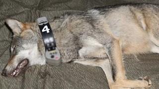 De Duitse wolfin Naya is vermoedelijk verantwoordelijk voor de doodgebeten schapen rond Luttenberg