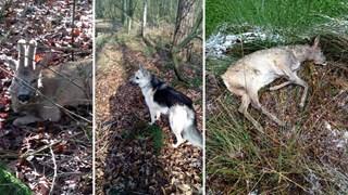 Johnny Gellekink is een zoekactie begonnen naar de hond die bij Ootmarsum een reekalfje doodbeet