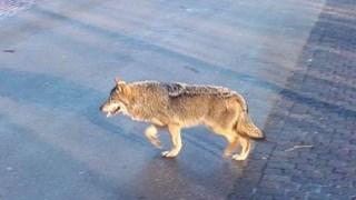 Wolf gezien in Twente