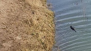 Still van de zwemmende otter