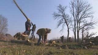 Dode bomen in Dwarsgracht worden gerooid