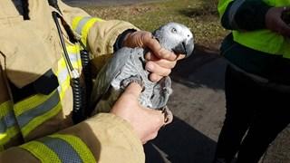 Papegaai uit boom gehaald