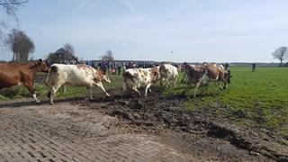 In Balkbrug was het vanmorgen tijd voor de jaarlijkse koeiendans