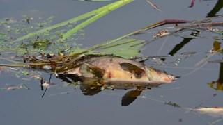 Dode vissen in Veenkanaal in Westerhaar-Vriezenveensewijk