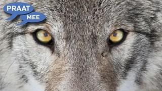 Jagen op de wolf?