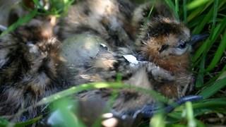 Kuikens van weidevogels; wel of geen hapje voor de ooievaar