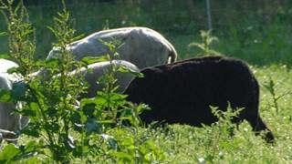 Lammetjes en weideklok gestolen in Hellendoorn