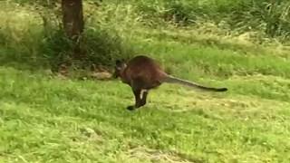 De wallaby neemt de benen als hij door Sabine Uitslag op de korrel wordt genomen