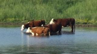 Koeien zoeken verkoeling