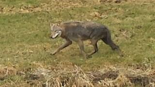 Een wolf in Genemuiden afgelopen voorjaar