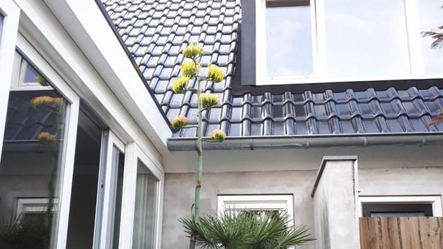 De bloeiende agave van Ramon - fotograaf: Ramon van Weezep