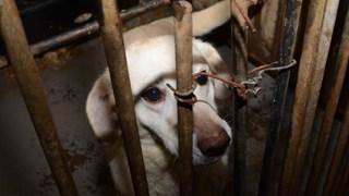 Nadat bij de omstreden fokker honderd honden in beslag werden genomen, moest een van de dieren worden afgemaakt.
