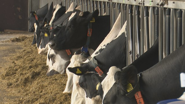 De koeien van Jos Knoef - fotograaf: RTV Oost