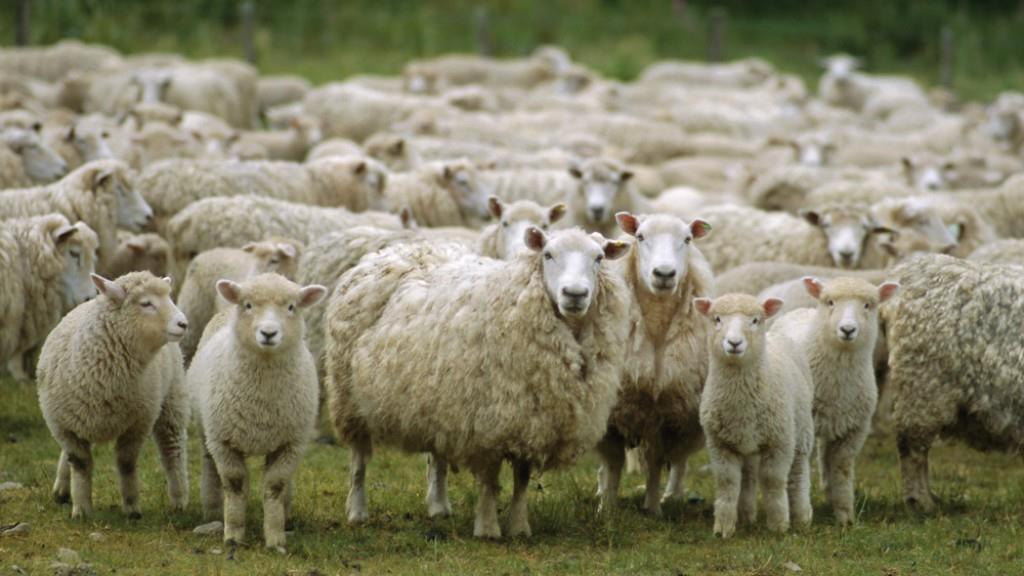 Weer schapen 'professioneel geslacht' in weiland, ditmaal is Deventer Schaapskudde doelwit