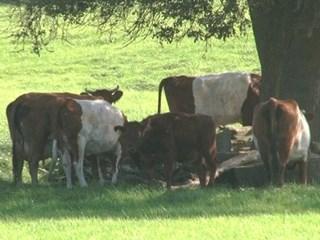 Steeds minder koeien in de wei